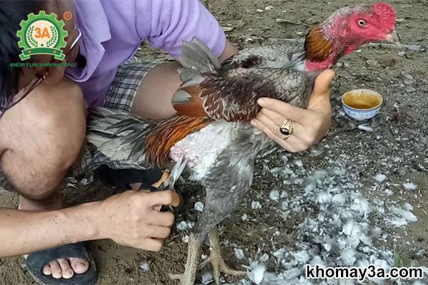 cách nuôi gà khỏe mạnh